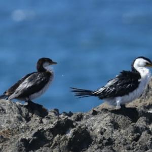 Microcarbo melanoleucos at Batemans Marine Park - 22 Mar 2020