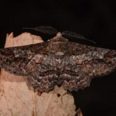Cleora displicata (A Cleora Bark Moth) at Paddys River, ACT - 10 Nov 2018 by GlennCocking
