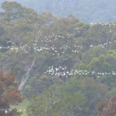 Cacatua sanguinea (Little Corella) at Bega, NSW - 24 Mar 2020 by MatthewHiggins