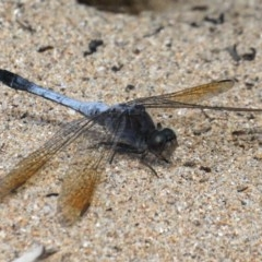 Orthetrum caledonicum (Blue Skimmer) at Rosedale, NSW - 22 Mar 2020 by jbromilow50