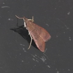 Uresiphita ornithopteralis (Tree Lucerne Moth) at Higgins, ACT - 22 Mar 2020 by AlisonMilton
