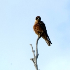 Falco longipennis at Red Hill Nature Reserve - 24 Mar 2020