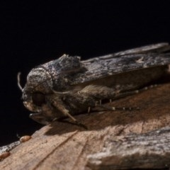 Proteuxoa bistrigula (An Owlet Moth) at Black Mountain - 14 Apr 2018 by GlennCocking