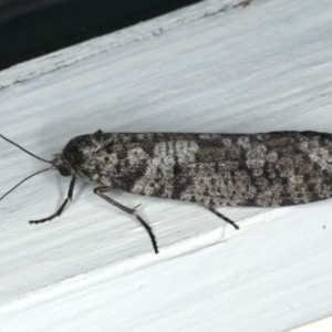 Lepidoscia (genus) at Ainslie, ACT - 22 Mar 2020