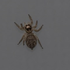 Hypoblemum griseum (A jumping spider) at Higgins, ACT - 4 Mar 2020 by AlisonMilton
