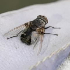 Rutilia (Donovanius) sp. (genus & subgenus) (A Bristle Fly) at Higgins, ACT - 14 Apr 2018 by AlisonMilton