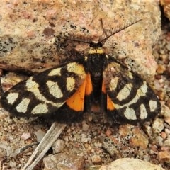 Asura lydia (Lydia Lichen Moth) at Wanniassa Hill - 23 Mar 2020 by JohnBundock