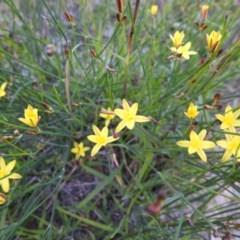 Tricoryne elatior (Yellow Rush Lily) at Kambah, ACT - 23 Mar 2020 by HelenCross