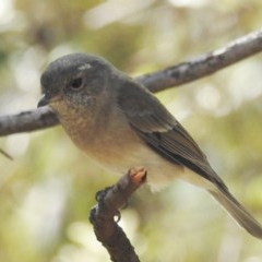 Pachycephala pectoralis (Golden Whistler) at ANBG - 18 Mar 2020 by HelenCross