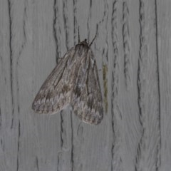 Chlenias nodosus (A geometer moth) at Higgins, ACT - 23 Apr 2018 by AlisonMilton