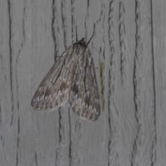 Chlenias nodosus (A geometer moth) at Higgins, ACT - 23 Apr 2018 by AlisonMilton