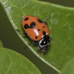 Hippodamia variegata (Spotted Amber Ladybird) at Higgins, ACT - 1 Nov 2019 by AlisonMilton