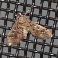 Nacoleia rhoeoalis (A Pyralid Moth) at Higgins, ACT - 19 Mar 2020 by AlisonMilton