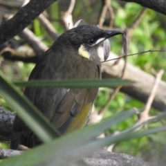 Meliphaga lewinii (Lewin's Honeyeater) at Shoalhaven Heads Bushcare - 24 Mar 2020 by Andrejs