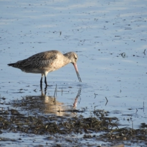 Limosa lapponica at Shoalhaven Heads Bushcare - 24 Mar 2020