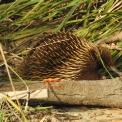 Tachyglossus aculeatus (Short-beaked Echidna) at Shoalhaven Heads Bushcare - 24 Mar 2020 by Andrejs