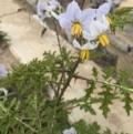 Solanum sisymbriifolium at Lawson, ACT - 24 Mar 2020
