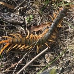 Ethmostigmus rubripes (Giant centipede) at Yass River, NSW - 23 Mar 2020 by SueMcIntyre