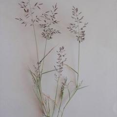 Eragrostis cilianensis (Stinkgrass) at Mount Painter - 22 Mar 2020 by CathB