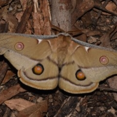 Opodiphthera eucalypti (Emperor Gum Moth) at Paddys River, ACT - 10 Nov 2018 by GlennCocking