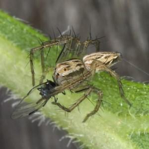 Oxyopes sp. (genus) at Kambah, ACT - 24 Mar 2020
