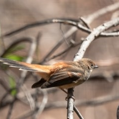 Rhipidura rufifrons (Rufous Fantail) at Umbagong District Park - 25 Mar 2020 by Roger