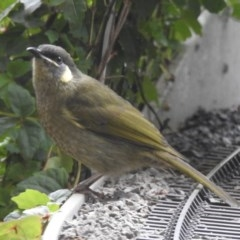 Meliphaga lewinii (Lewin's Honeyeater) at Wingecarribee Local Government Area - 25 Mar 2020 by GlossyGal