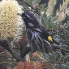Phylidonyris novaehollandiae (New Holland Honeyeater) at Wingecarribee Local Government Area - 25 Mar 2020 by GlossyGal