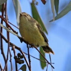 Smicrornis brevirostris (Weebill) at Jerrabomberra Wetlands - 23 Mar 2020 by RodDeb