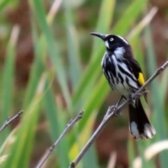 Phylidonyris novaehollandiae (New Holland Honeyeater) at Jerrabomberra Wetlands - 23 Mar 2020 by RodDeb