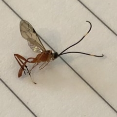 Ichneumonidae sp. (family) (Unidentified ichneumon wasp) at Aranda, ACT - 25 Mar 2020 by Jubeyjubes
