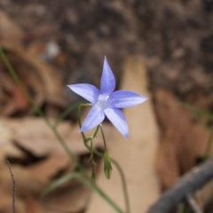 Wahlenbergia sp. (Bluebell) at Bumbalong, NSW - 26 Mar 2020 by AdamatBumbalong
