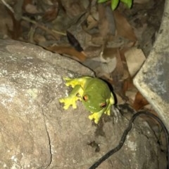 Litoria chloris (Red-eyed Tree Frog) at Budgong, NSW - 1 Feb 2020 by Ry