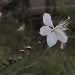 Oenothera lindheimeri (Clockweed) at Molonglo River Park - 2 Mar 2020 by michaelb