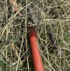 Phallus rubicundus (A stinkhorn fungus) at Wanniassa, ACT - 26 Mar 2020 by jksmits