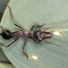 Myrmecia simillima (A Bull Ant) at Mount Ainslie - 26 Mar 2020 by jbromilow50
