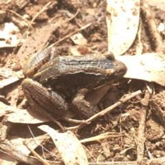 Limnodynastes peronii (Brown-striped Frog) at Bundanoon, NSW - 22 Feb 2020 by ESP