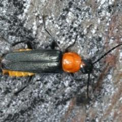 Chauliognathus tricolor (Tricolor soldier beetle) at Mount Ainslie - 26 Mar 2020 by jbromilow50
