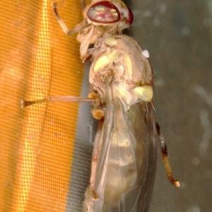 Bactrocera (Bactrocera) tryoni at Kambah, ACT - 27 Mar 2020