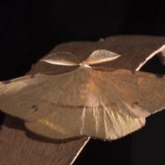 Onycodes traumataria (Small Twisted Moth) at Paddys River, ACT - 13 Mar 2018 by GlennCocking