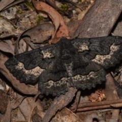 Melanodes anthracitaria (Black Geometrid) at Paddys River, ACT - 10 Nov 2018 by GlennCocking