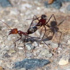Iridomyrmex purpureus (Meat Ant) at Fadden, ACT - 26 Mar 2020 by RodDeb