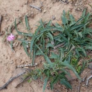 Convolvulus angustissimus subsp. angustissimus at Deakin, ACT - 27 Mar 2020