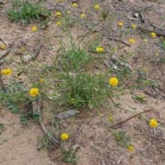 Calotis lappulacea (Yellow burr daisy) at Deakin, ACT - 27 Mar 2020 by JackyF