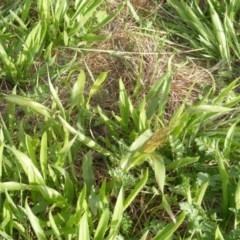 Panicum capillare or P. hillmanii (An exotic invasive panic grass) at Yarralumla, ACT - 19 Mar 2020 by MichaelMulvaney
