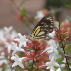 Belenois java (Caper White) at Evatt, ACT - 24 Mar 2020 by TimL