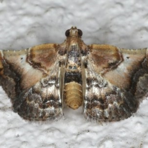 Scenedra decoratalis at Ainslie, ACT - 27 Mar 2020