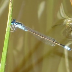 Ischnura heterosticta (Common Bluetail) at Jerrabomberra Wetlands - 22 Mar 2020 by Christine