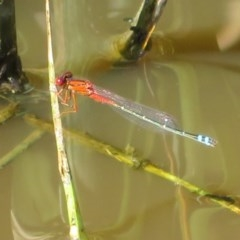 Xanthagrion erythroneurum (Red & Blue Damsel) at Jerrabomberra Wetlands - 22 Mar 2020 by Christine