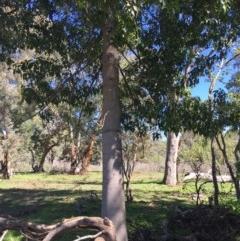 Brachychiton populneus subsp. populneus (Kurrajong) at Paddys River, ACT - 22 Mar 2020 by davidmcdonald